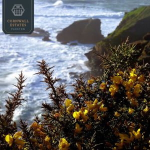 views of Cornwall gorse and sea