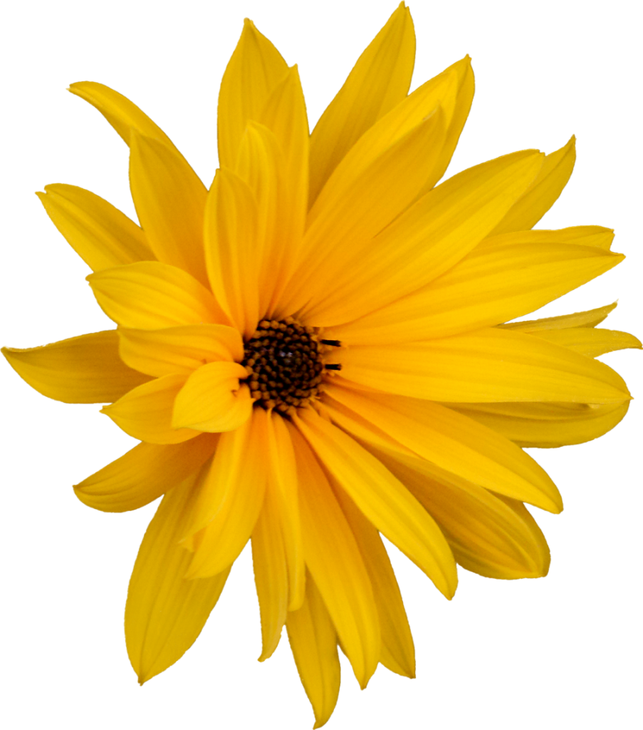 yellow flower from marguerite on pixabay