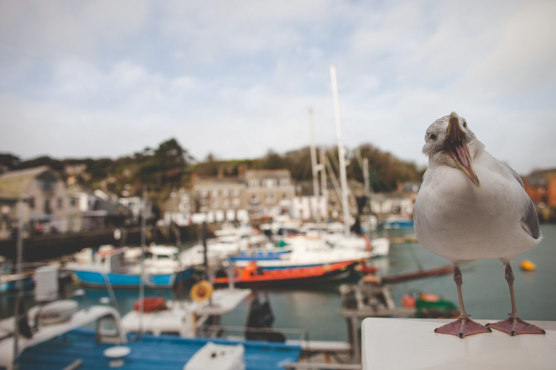 Seagull in Padstow Harbour Cornwall