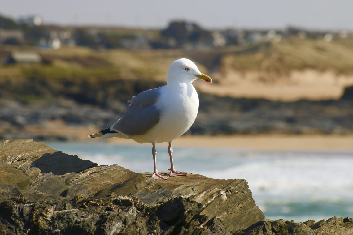 Seagull on rocks in Cornwall