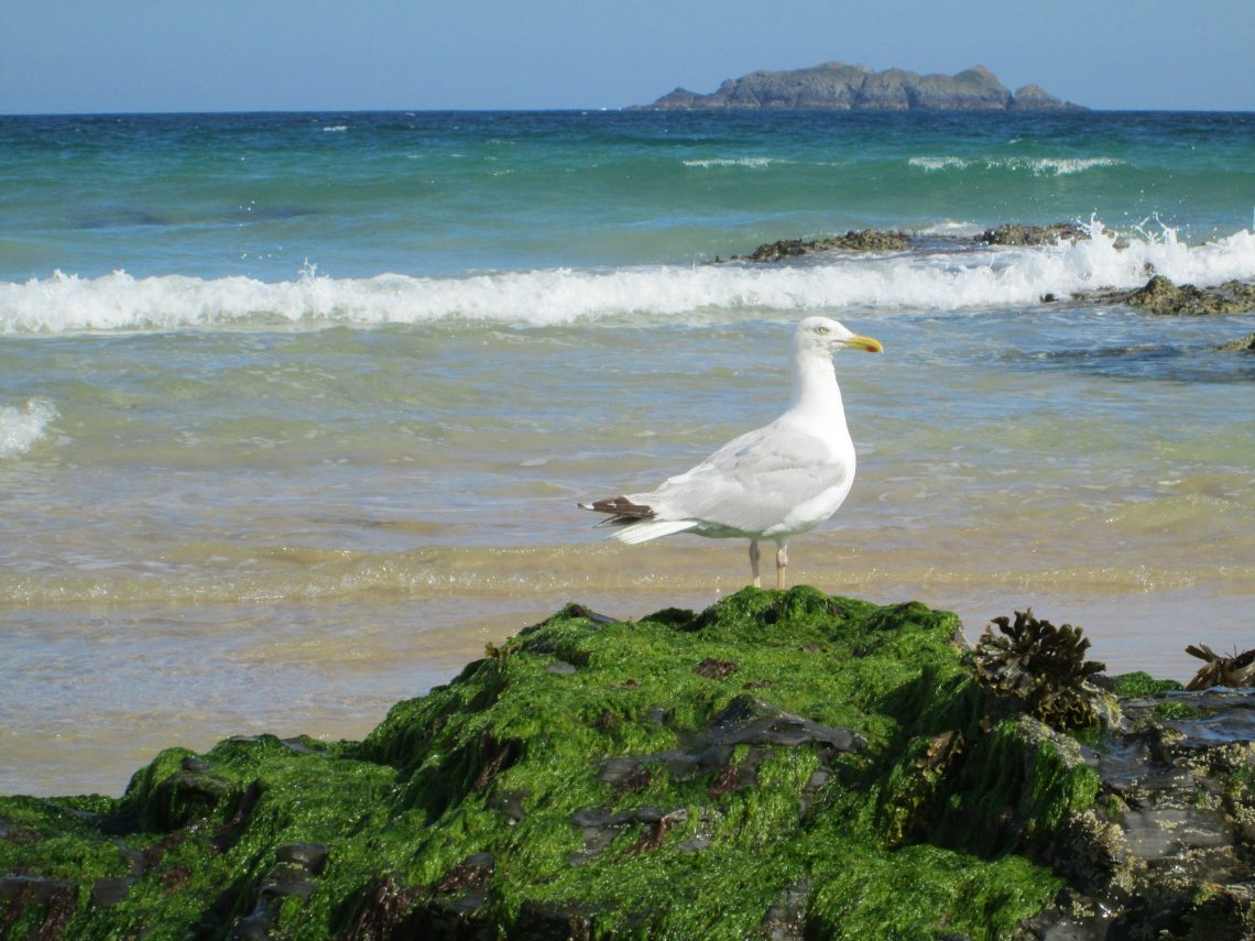 Seagull at Harlyn Bay Cornwall