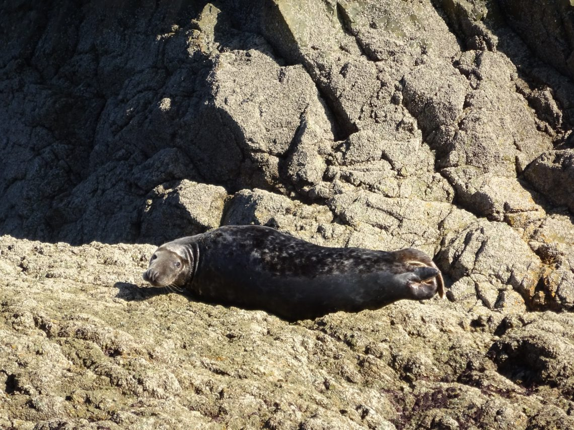 Seal sunbathing at Godrevy Cornwall